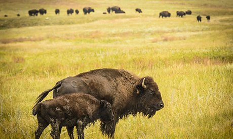Buffalo-in-Nebraska-009